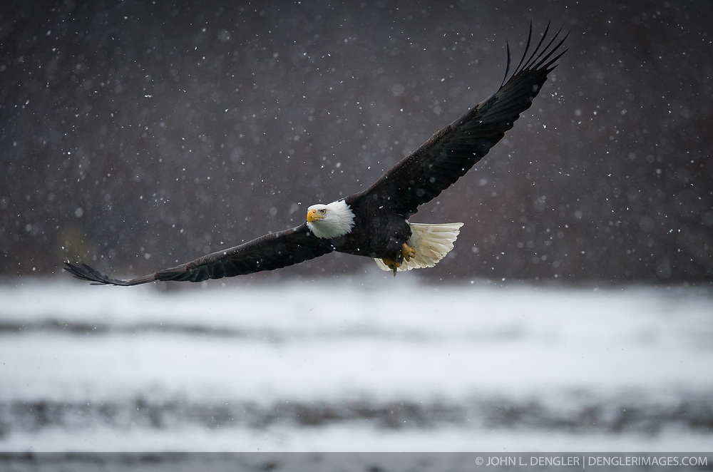A bald eagle (Haliaeetus leucocephalus) flies above the Chilkat River as it snows in the Alaska Chilkat Bald Eagle Preserve near Haines, Alaska. During late fall, bald eagles congregate along the Chilkat River to feed on salmon. This gathering of bald eagles in the Alaska Chilkat Bald Eagle Preserve is believed to be one of the largest gatherings of bald eagles in the world.