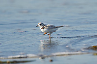 Piping Plover (Charadrius melodus) foraging on beach Cherry Beach, Nova Scotia, Canada