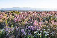 Fynbos in full floral bloom, Grootbos Nature Reserve, Western Cape, South Africa
