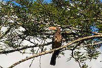 Crowned Hornbill. Hluhluwe-Umfolozi Game Reserve, South Africa.