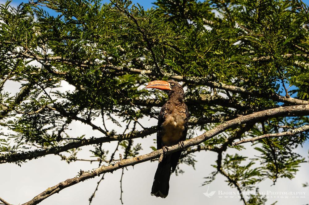 Crowned Hornbill. Hluhluwe-Umfolozi Game Reserve, South Africa.