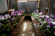 Venda Nova do Imigrante_ES, Brasil...Orquidario em Venda Nova do Imigrante...The orchid greenhouse in Venda Nova do Imigrante...Foto: LEO DRUMOND / NITRO