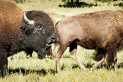 Bison bull walking with cows during rut, Vermejo Park Ranch, New Mexico, USA.