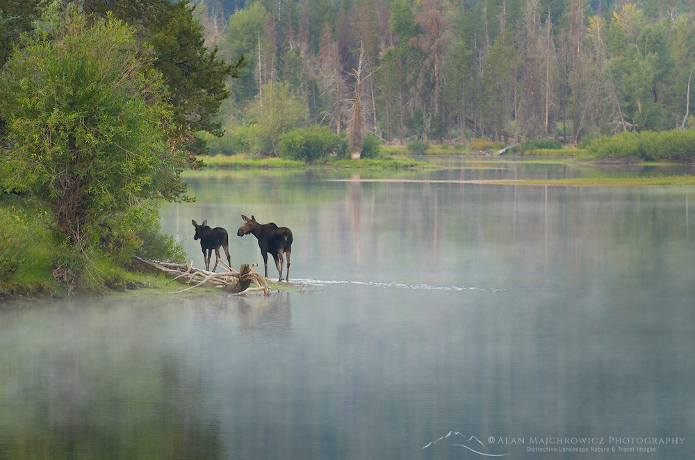 Moose at Oxbow Bend on the Snake River, Grand Teton National Park Wyoming