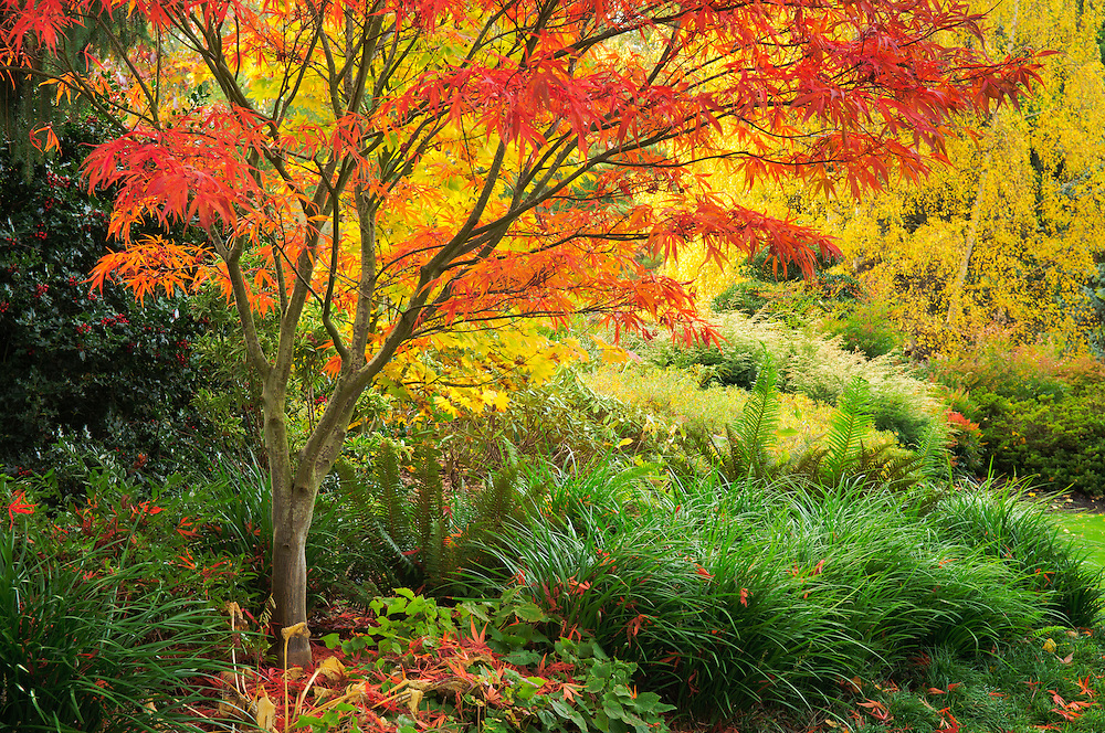 Maple trees in fall color at Kubota Japanese Garden, Seattle, Washington.