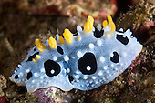 Nudibranchs & Gastropods