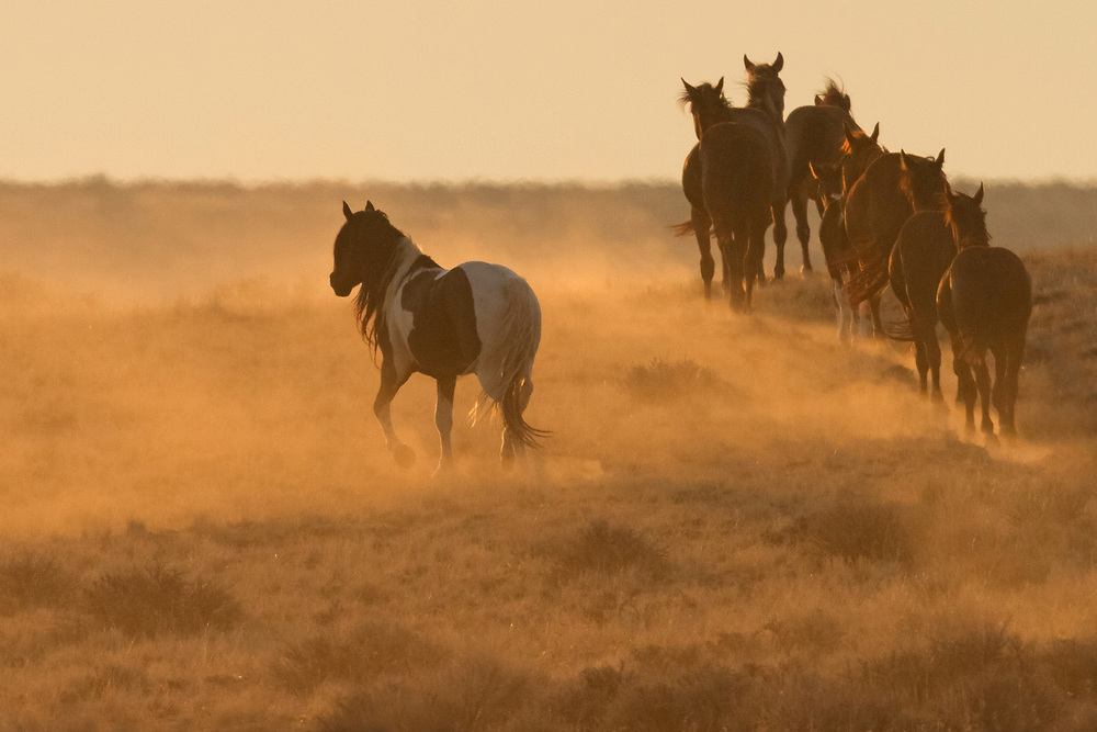 The wild mustang stallion, Washakie, makes his way through the thick smoke and haze blanketing the wild horse range near Cody, Wyoming. These conditions were caused by summer wildfires in the area, but conditions have since improved due to a week long stint of summer rains.