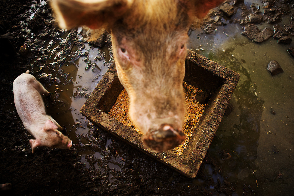 A pig and a piglet at a trough.