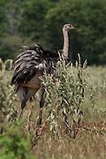 Bonito_MT, Brasil.<br /> <br /> Ema (Rhea americana) no campo cerrado no Parque Nacional da Serra da Bodoquena em Bonito, Mato Grosso.<br /> <br /> Greater rheas (Rhea americana) in Serra da Bodoquena National Park in Bonito, Mato Grosso.<br /> <br /> Foto: JOAO MARCOS ROSA / NITRO