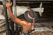 Pantanal cowboy 'Boiadeiro' ('Adão' Gilson Gomez) giving the cattle their annual rabies vaccinations. This is manditory in the Central Pantanal as once a month buyers pass through all the Fazendas buying cattle.  They walk for 3 days to get to market crossing through many more fazendas en-route.<br /> Pantanal. Largest contiguous wetland system in the world. Mato Grosso do Sul Province. BRAZIL.  South America