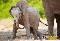 A young desert-adapted elephant calf (Loxodonta africana) clumsily playing with its trunk and displaying a warning, Skeleton Coast, Namibia,Africa