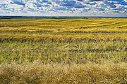 swath canola drying<br /> south of Big Valley<br /> Saskatchewan<br /> Canada