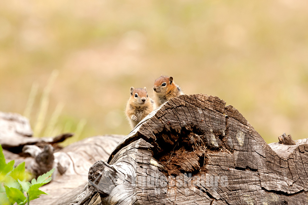 July 2015 in the mountains of northern Utah a pair of Chipmunks kept peeking over the edge of a log while I was photographing song birds this went on for hours so I finally decided to take a picture of them!