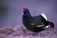 Male black grouse calling on lek site, Scotland