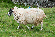 Sheep. We hiked the valley of Smardale Gill to cross its historic Viaduct and visit Smardale Gill National Nature Reserve, in Yorkshire Dales National Park, England, United Kingdom, Europe. England Coast to Coast hike day 7 of 14; overnight 2 of 2 in Brownber Hall Country House, Cumbria county. [This image, commissioned by Wilderness Travel, is not available to any other agency providing group travel in the UK, but may otherwise be licensable from Tom Dempsey – please inquire at PhotoSeek.com.]