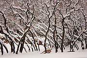 Fresh snow covers oak tree branches in Salt Lake City, Utah