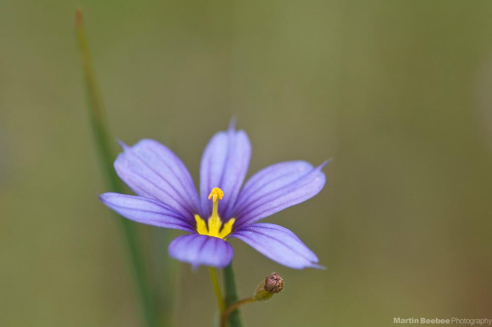 Blue-eyed-grass (Sisyrinchium bellum), spring, Folsom Lake State Recreation Area, California