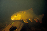 Silver Redhorse Sucker<br />