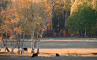 Cattle graze in a pasture near Glenwood, WA, USA with autumn colored aspen in the background.
