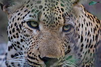 Leopard (Panthera pardus) close-up