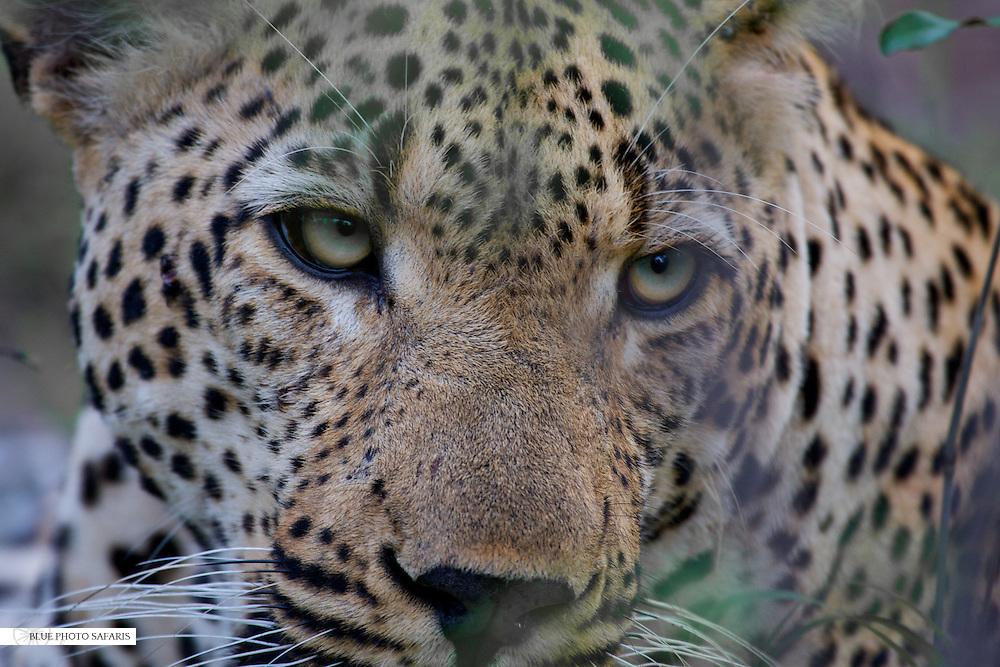 Leopard (Panthera pardus) close-up