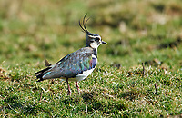 Lapwing (Vanellus vanellus), Elmley Marshes RSPB Reserve, England, : Photo by Peter Llewellyn