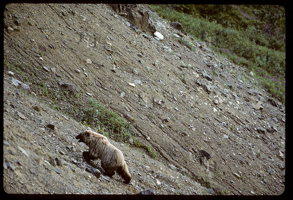Grizzly bear (Ursus arctos horribilis) lumbers up slope of loose gravel on an August afternoon; Denali National Park. Alaska