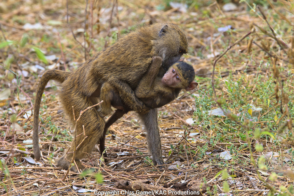 Juvenile olive baboon carrying infant baboon.