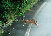 Kanavayen, Venezuela 060403  A small deer dashes across the road leading to the secluded village of Kanavayen in southwestern Venezuela bordering Brazil and Guyana. (Essdras M Suarez/ Globe Staff)