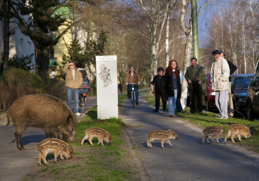 Passanten und Anwohner beobachten Wildschweine (Sus scrofa) auf dem Bürgersteig an der Argentinischen Allee, Berlin, Deutschland. Passers-by and tenants observing wild boars on the curb of Argentinische Allee, Berlin, Germany.