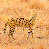 Serval cat posing in the Ngorongoro Crater in Tanzania.