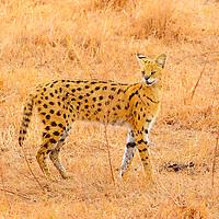 Serval cat posing in the Ngorongoro Crater in Tanzania.
