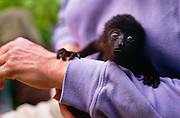 356201-1007 ~ Copyright:  George H. H. Huey ~ Three month old black howler monkey (alouatta pigra) before being returned to its mother. Community Baboon Sanctuary, Belize.