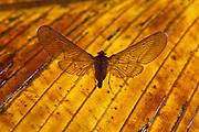 Planthopper on leaf, Osa Peninsula, Costa Rica.