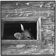 Kuhkopf im Stall; cow head, écurie, étable, vache, taureau,