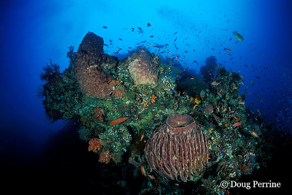 giant barrel sponges, soft corals, etc,. grow on bow of Liberty Wreck, Tulamben, Bali, Indonesia