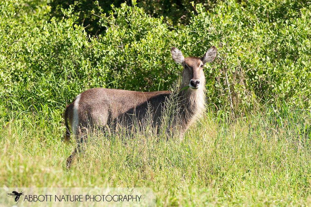 Common Waterbuck (Kobus ellipsiprymnus)<br /> SOUTH AFRICA: Mpumalanga Province<br /> Kruger National Park; near Satara Camp area<br /> 13-15.Jan.2006<br /> J.C. Abbott #2222