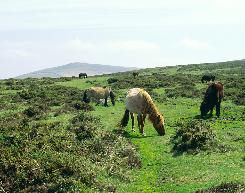 Wild Dartmoor ponies horses grazing on Dartmoor National Park upland in Devon southwest England UK