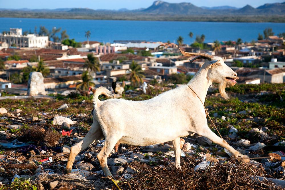 Mirador goat in Gibara, Holguin, Cuba.
