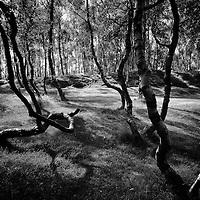 Sunlight and shadows in Silver Birch Forest, Bolehill Quarry, Peak Distruct
