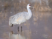 Beauty of a Sandhill Crane
