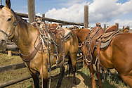 Ranch rodeo horses in Wilsall Montana, Quarter Horses
