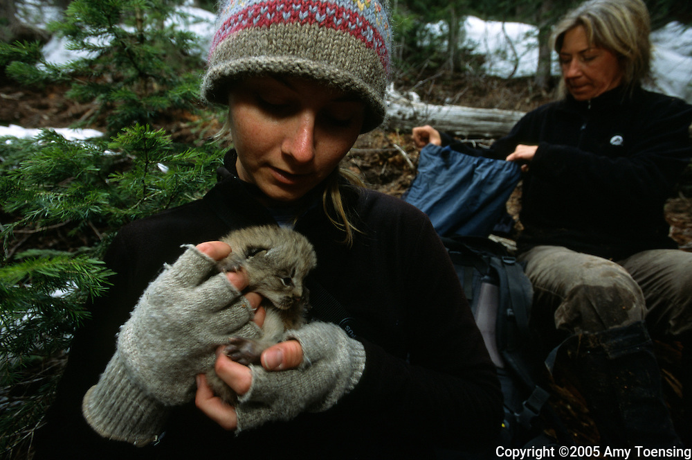 TELLURIDE, COLORADO- JUNE 05: Shana Dunkley, field biologist, holds a lynx kitten before a check-up which will include weighing, measuring, tagging and inspecting the kitten on June 05, 2005, in Telluride, Colorado. In 1999 the Colorado Division of Wildlife (CDOW) began a lynx reintroduction program, trapping the animals in Canada and bringing them to Colorado. The goal is to re-establish the lynx population in the state, which has been nonexistent since the 1970s, to a viable level where the population that can sustain itself. The program has brought in 204 lynx between 1999 and 2005. There have been 71 known deaths, and 101 kittens born. The program is considered widely as a success, however the program has also instigated controversy protests from animal rights groups and developers. (Photo by Amy Toensing) _________________________________<br />