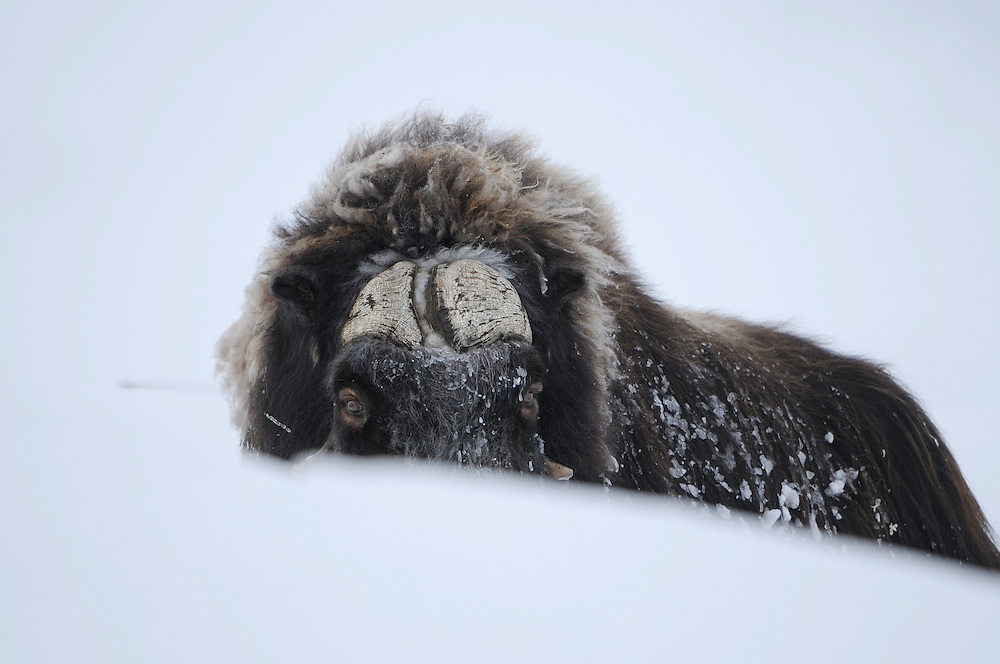 Muskox, (Ovibos moschatus) dovrefjell national park , norway, february