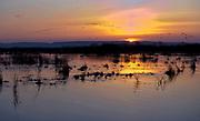 Flocks of Eurasian Cranes (Grus grus) approaching Lake Hornborga, Sweden, at sunrize.