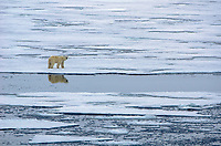 Polar bear on the sea ice at Nordaustland on Svalbard, Norway.