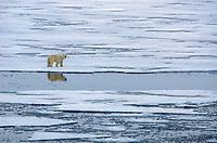 Polar bear on the sea ice at Nordaustland on Svalbard, Norway.