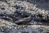 Galapagos Brown Noddy