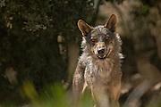 Iberian Wolf watching photographer(c)