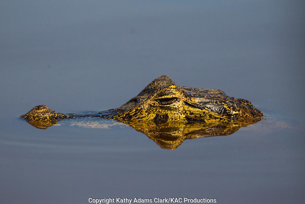 Brazil; Caiman; Caimaninae; Jacare caiman; Mato Grosso; Pantanal